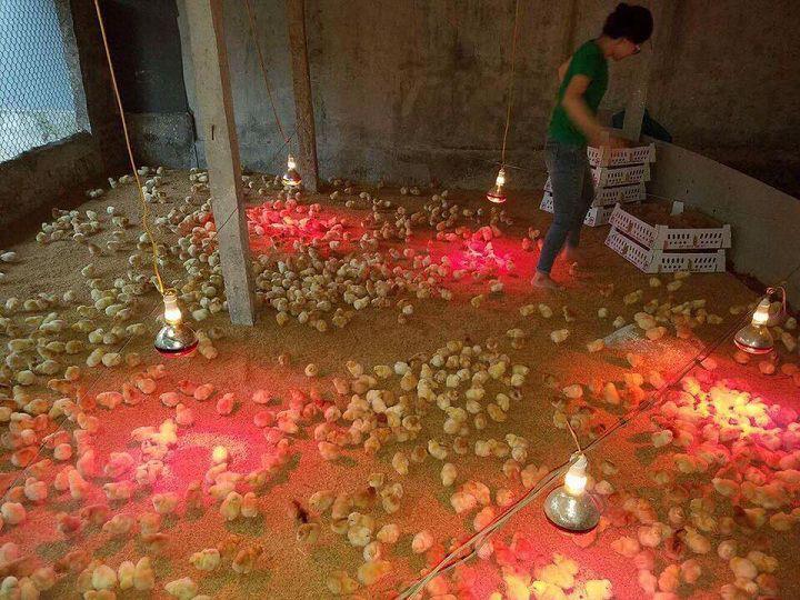 Đèn hồng ngoại giúp diệt khuẩn và duy trì nhiệt độ chuồng úm