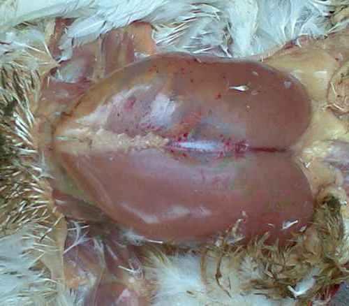 bệnh Gumboro ở gà