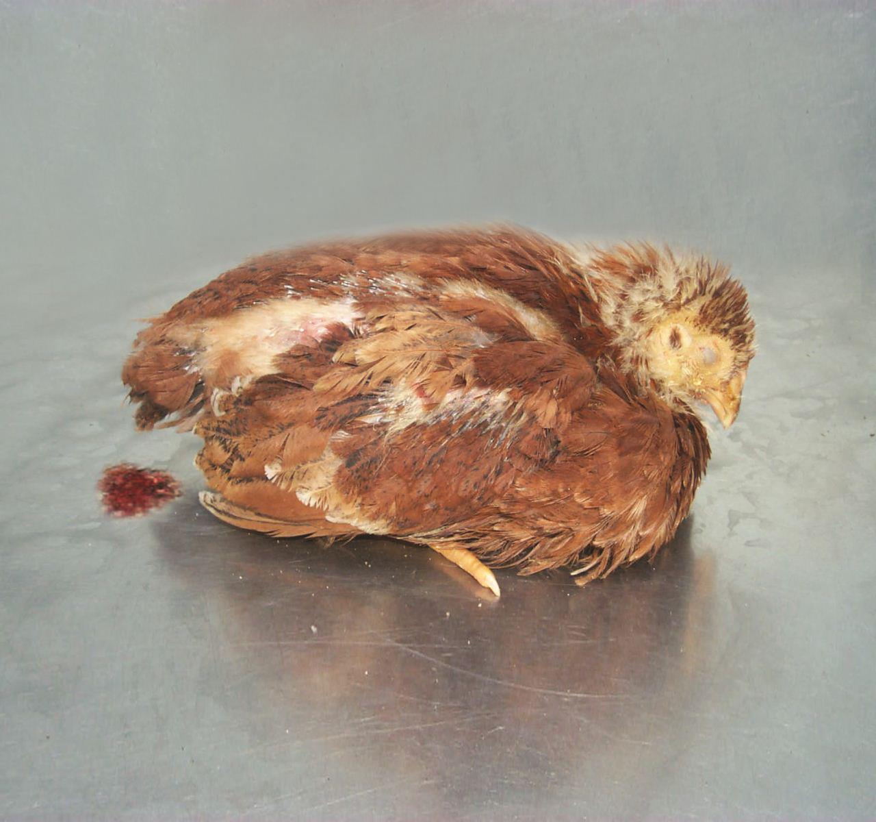 Bệnh cầu trùng ở gà gây tiêu chảy cấp tính, mưng mủ giác mạc