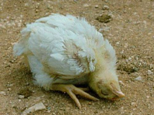 Bệnh gà ủ rũ do vi khuẩn Newcastle