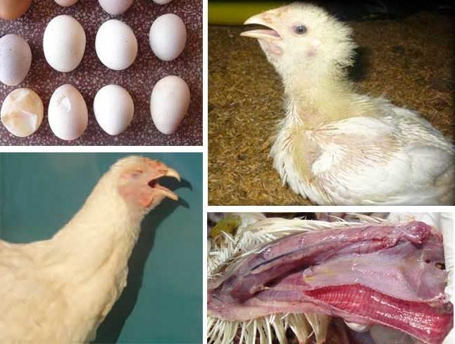 Bệnh IB ở gà