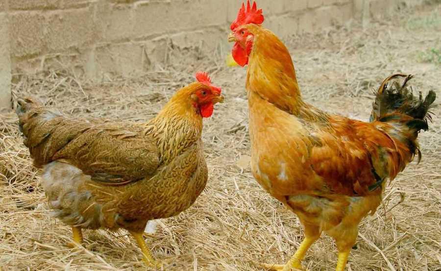 Các bệnh thường gặp ở gà phá hủy nhiều cơ quan nội tạng