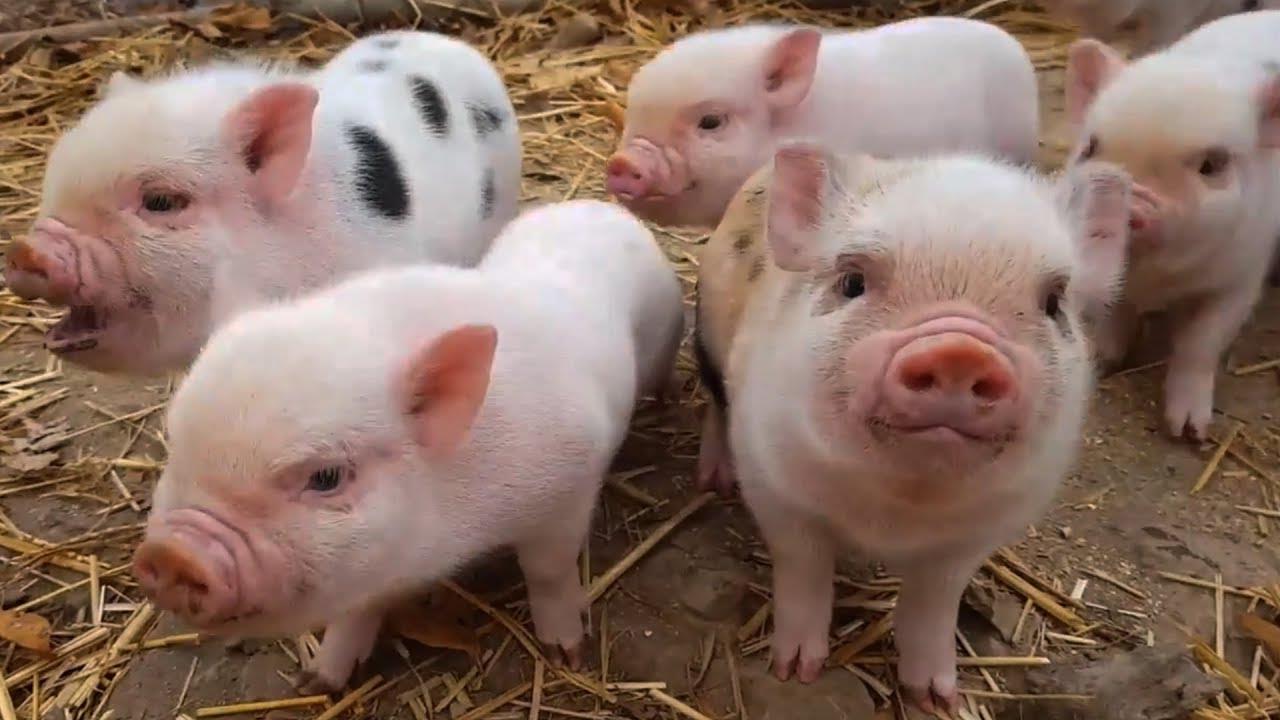 Bệnh thường gặp ở Lợn con mới đẻ