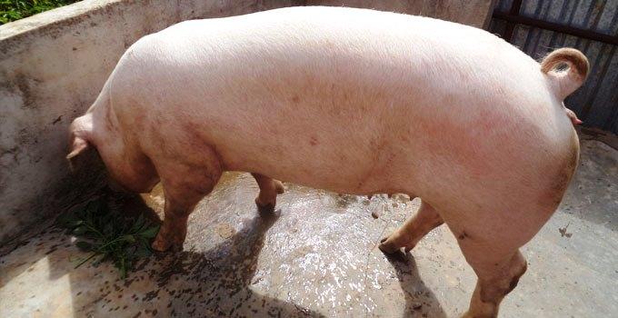 Bệnh tiêu chảy dễ lây lan trên đàn lợn thịt