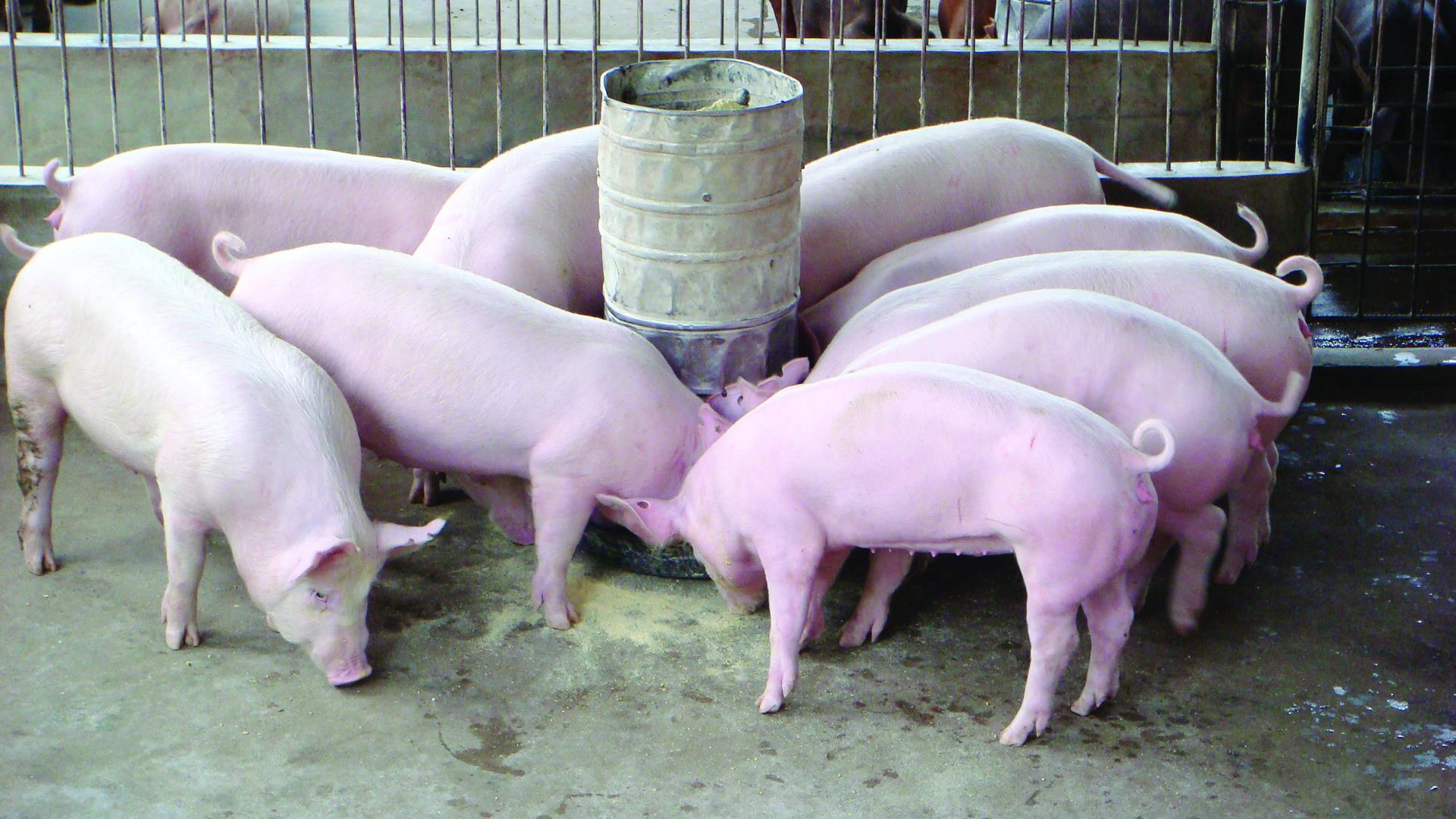 Tuân thủ kỹ thuật nuôi heo thịt đảm bảo chất lượng khi xuất chuồng