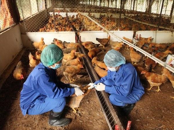 Lịch tiêm vắc xin cho gà