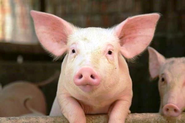 Phòng tránh bệnh thường gặp ở lợn hiệu quả với công tác vệ sinh chuồng trại