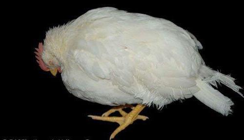 Trị bệnh gà ủ rũ